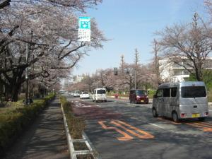 桜(大学通り) 001
