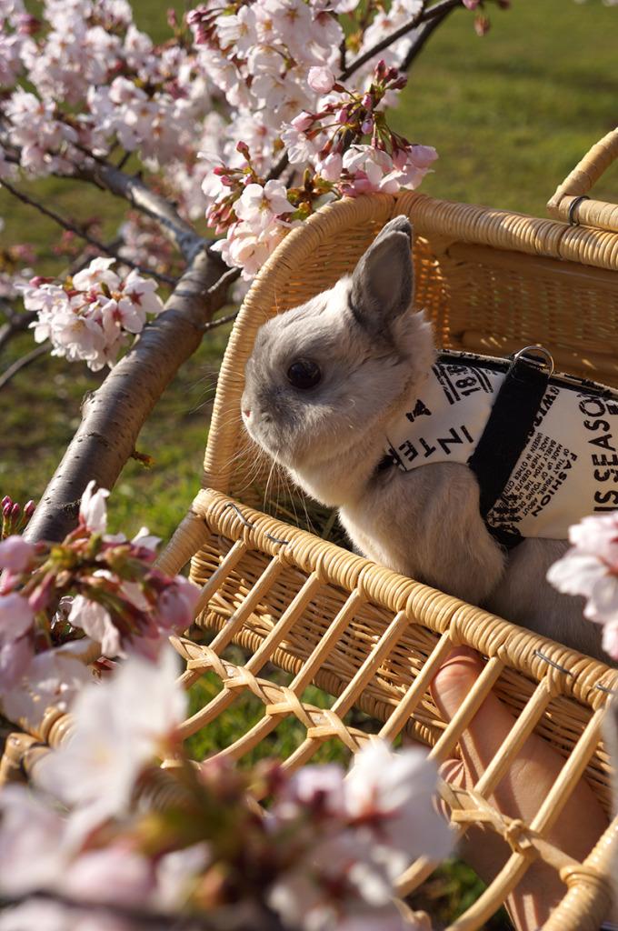 0331銀次桜 (1)
