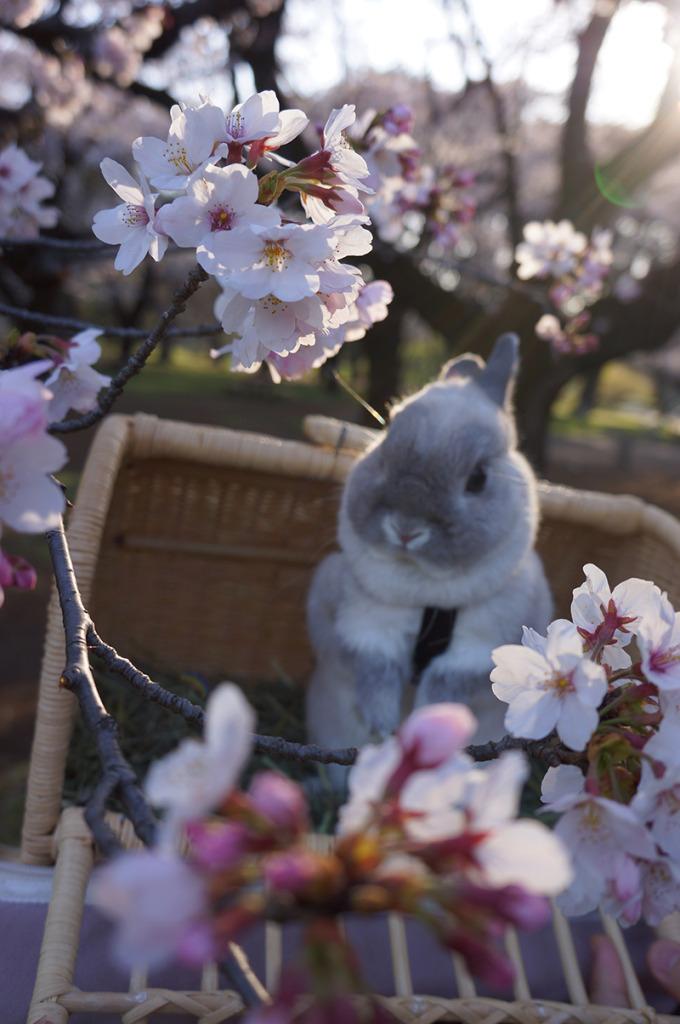 0331銀次桜 (3)