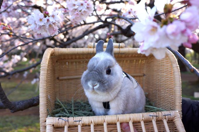 0331銀次桜 (7)