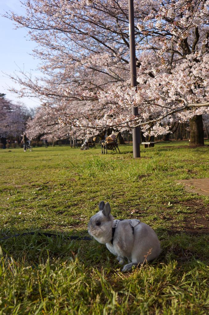 0331銀次桜 (9)