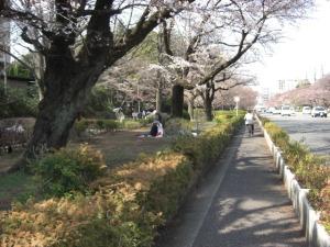 桜(大学通り) 003